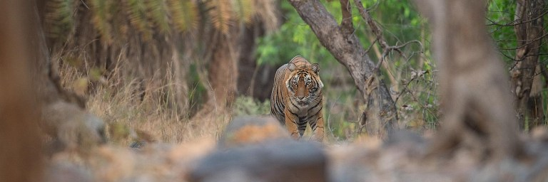tiger spotting in India