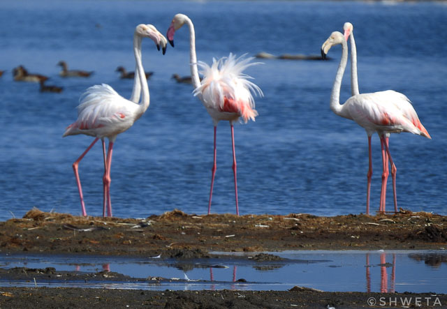 flamingos clicked by wild voyager guest