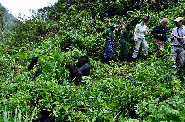 Spending time with gorillas