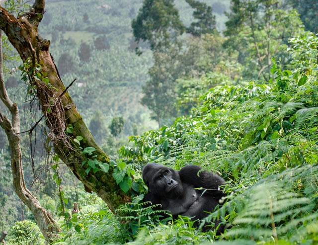 Gorilla and the tree