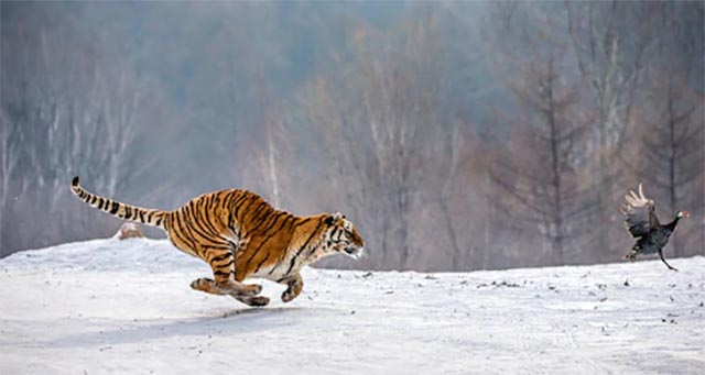 Siberian Tiger on the run