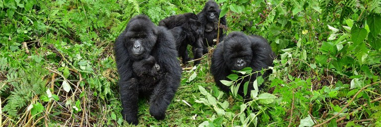 all about mountain gorillas
