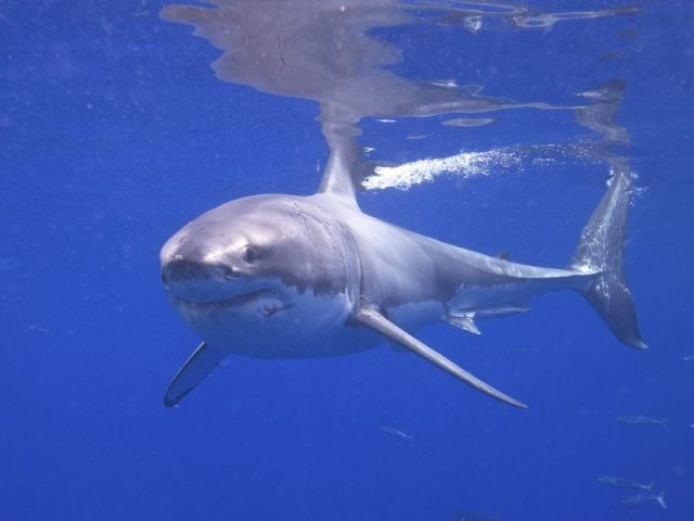 A Great White Shark in Isle Guadalupe