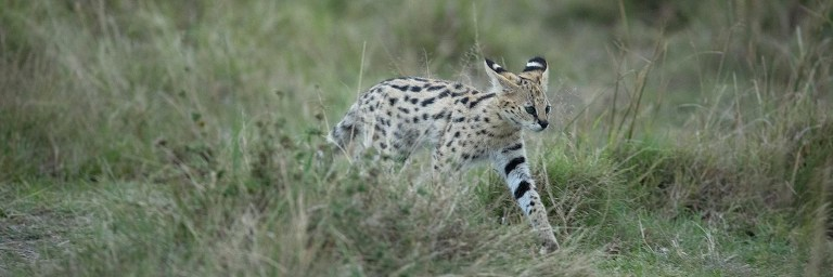 Small cats of Africa