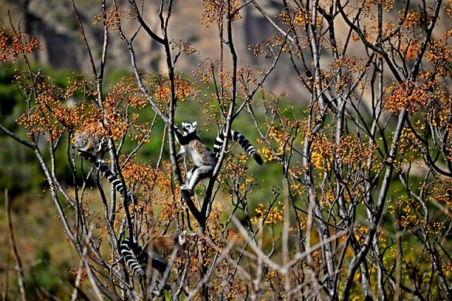 A lemur picks fruits from a forest in Madagascar