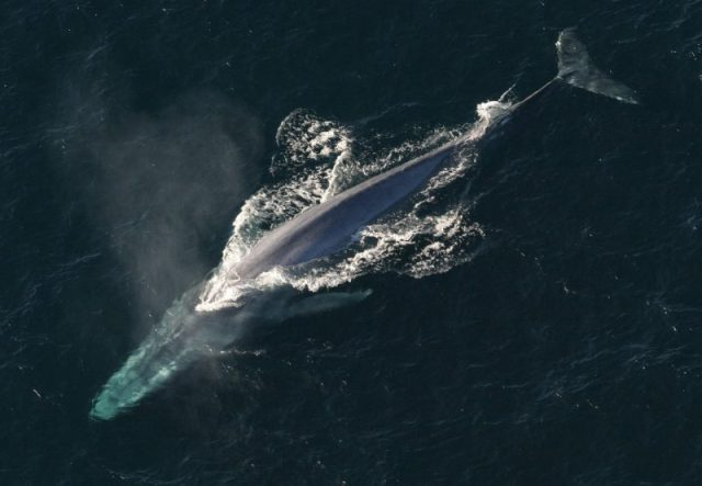 The spectacular blue whale