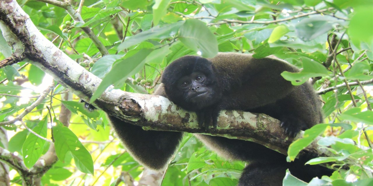 https://i2.wp.com/www.wildwatchperu.com/wp-content/uploads/2018/08/Woolly-Monkey-in-Manu.jpg?resize=1280%2C640&ssl=1