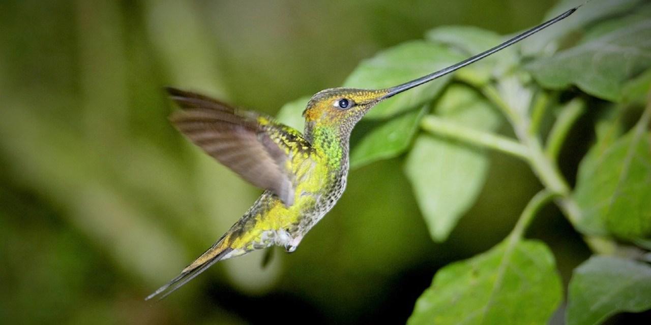 https://i2.wp.com/www.wildwatchperu.com/wp-content/uploads/2018/09/Sword-billed-Hummingbird-in-Manu.jpg?resize=1280%2C640&ssl=1