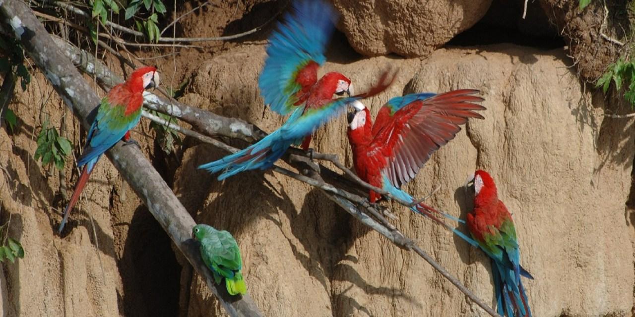 https://i2.wp.com/www.wildwatchperu.com/wp-content/uploads/2018/09/large-macaws-eating-clay-lick-in-Manu.jpg?resize=1280%2C640&ssl=1