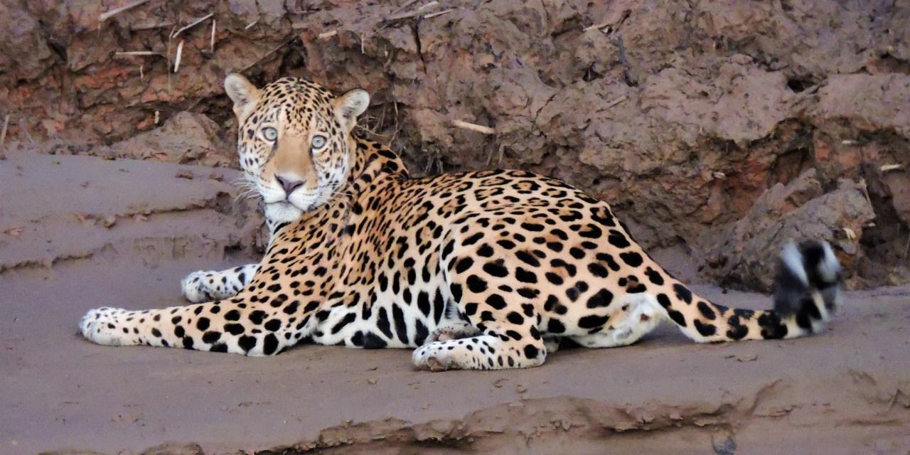 https://i2.wp.com/www.wildwatchperu.com/wp-content/uploads/2019/04/jaguar-at-manu-Park-river1.jpg?resize=1280%2C640&ssl=1