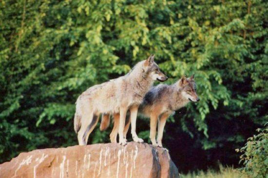 Wölfe im Tierpark Sababurg (c)