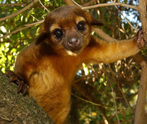 Kinkajou