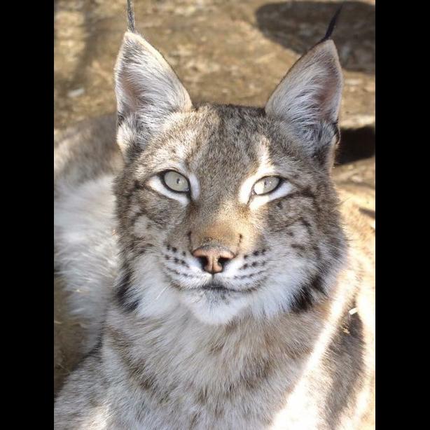 Lynx - Tiani