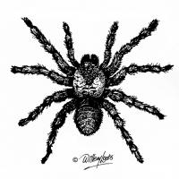 Illustration of baboon spider