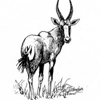 Illustration of a bontebok