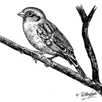Illustration of Cape Sparrow
