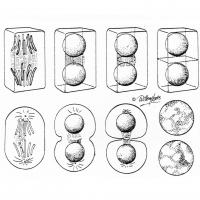 Illustrations of cells dividing