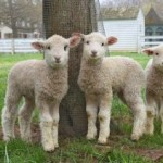 Sheep are taking over DOG Street - Names Needed!