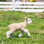 Where to find the lambs in Colonial Williamsburg