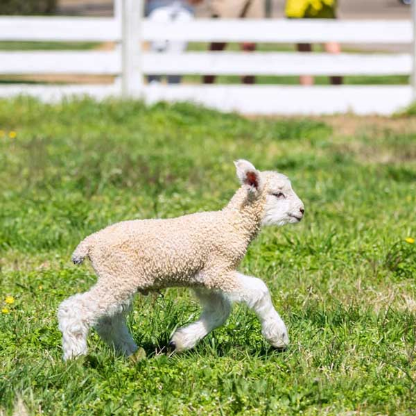 lambs-at-colonial-williamsburg---photo-credit-w_reynolds_photography