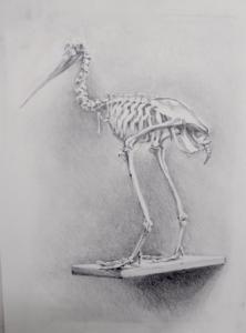 Apteryx Mantelli (kiwi)