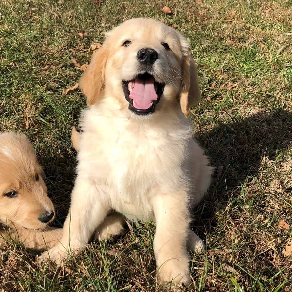 Goldendoodle with tongue out