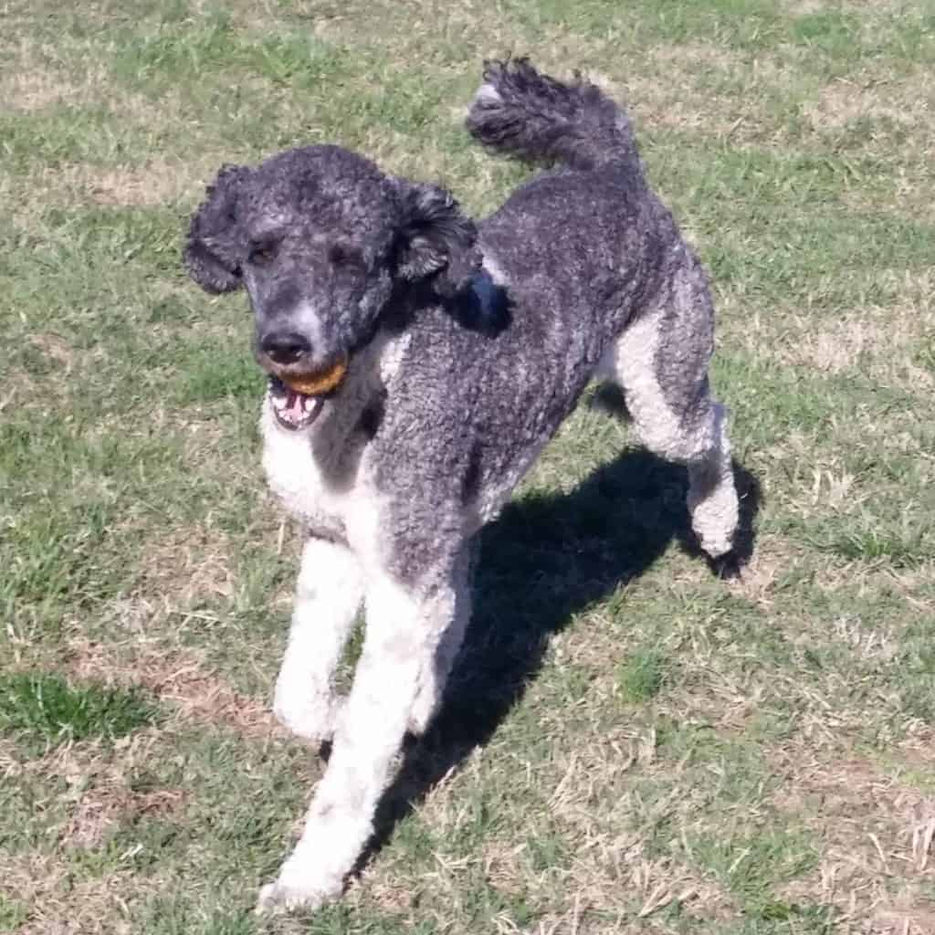 Standard poodle with ball
