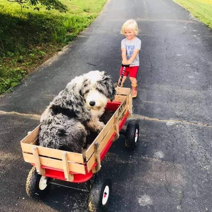 Bordoodle in wagon