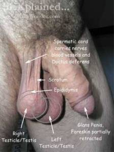 Picture of Male Genital Anatomy-Labelled-WillyWorries.com
