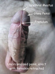 Image showing a normal, health erect penis and is illustrated to show the urethral meatus (urine opening), glans penis (helmet/knob end/hood), the frenulum of an uncircumcised penis, erect with foreskin retracted