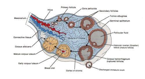 Anatomy-Female-Ovary-Picture-used-courtesy-of-SSFT-Tony-Gray