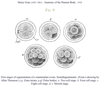 First-Stages-of-Segmentation-of-mammalian-ovum-cell-division