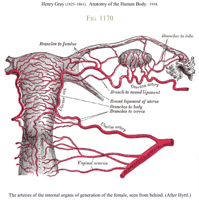 arteries, female reproductive organs,
