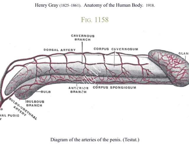 Picture showing arteries of a penis