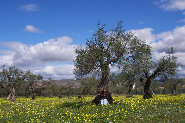 Olive trees with flowers in March