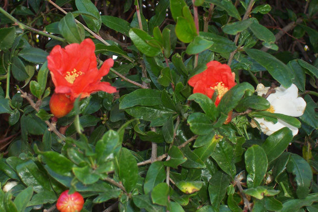 In spring, especially the flowers of the pomegranate stand out