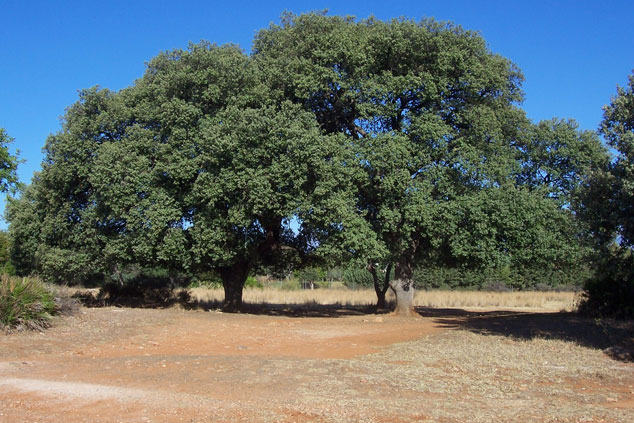 Mediterranean oak trees: this is where the wedding took place