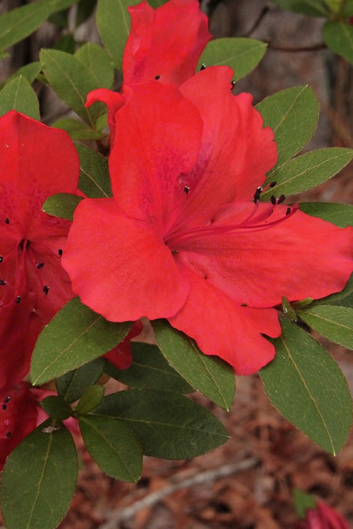 Buy Amaghasa Azalea For Sale Online From Wilson Bros Gardens