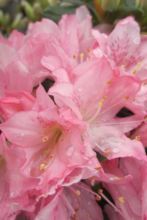 Buy Pink Pearl Azalea For Sale Online From Wilson Bros Gardens