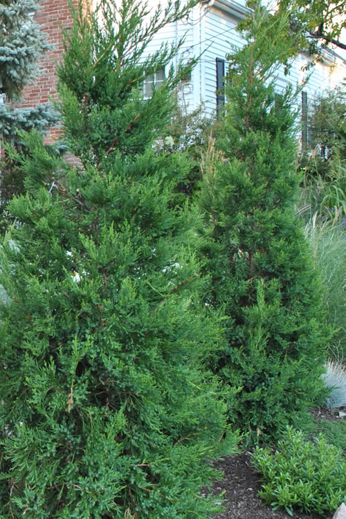 Buy Hetzi Columnar Juniper For Sale Online From Wilson