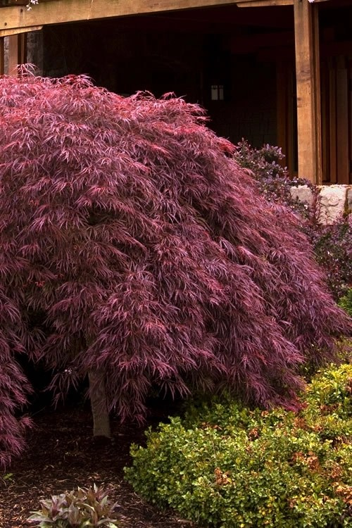 Perhaps The Most Popular Of All Red Lace Leaf Varieties The Crimson Queen Japanese Maple Is Prized For Its Display Of Crimson Red Foliage And Attractive