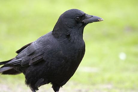 060606-crows_big.jpg