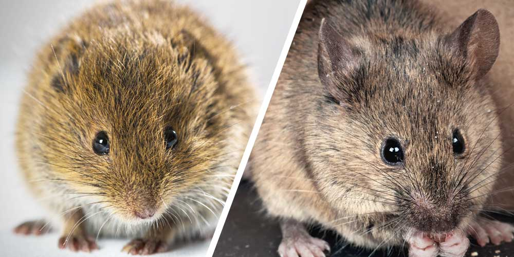 How To Tell A Field Mouse From A House Mouse