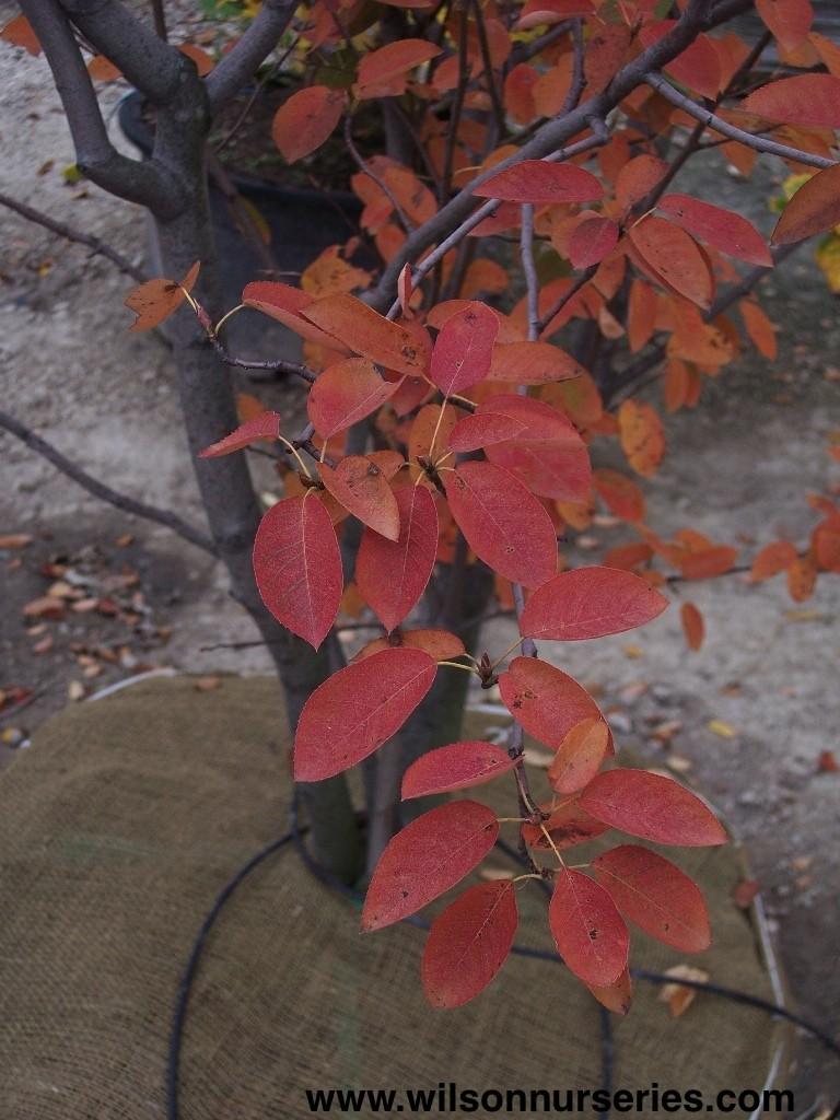 Brilliance Autumn Amelanchier Color Fall