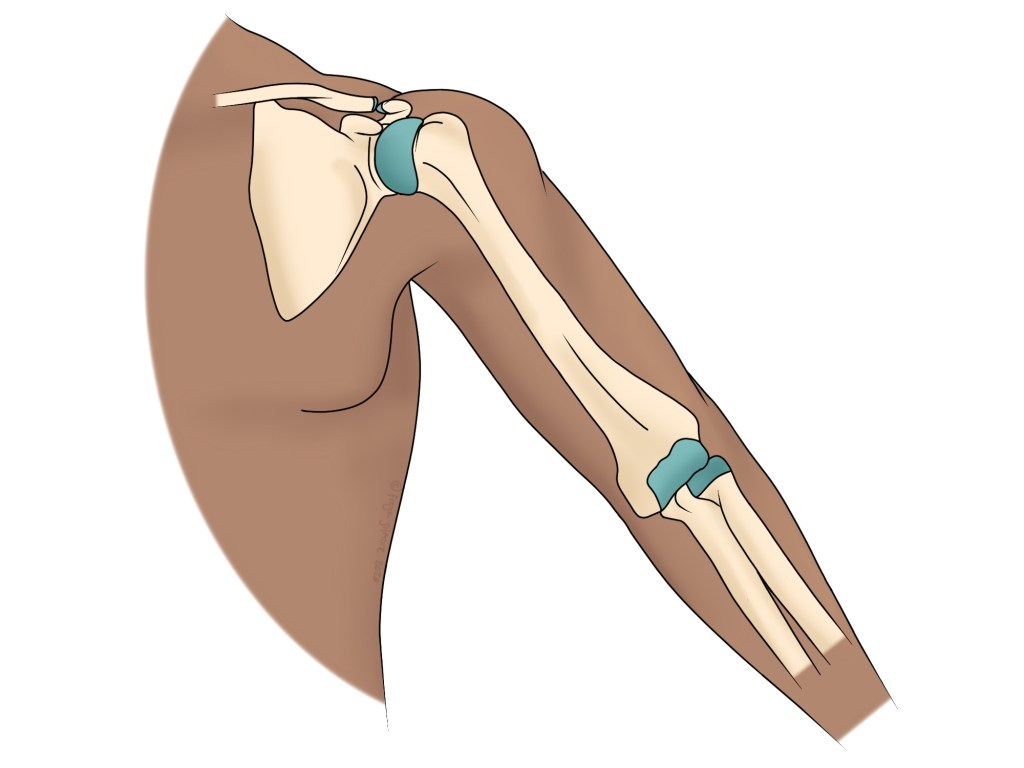 Anatomy of the shoulder and elbow