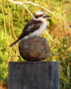china_kookaburra