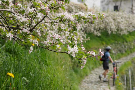 Apfelblüte in Dorf Tirol