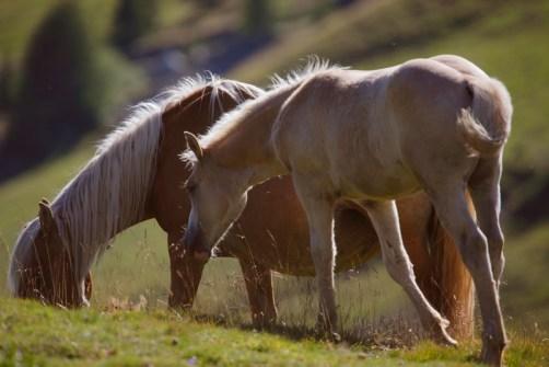 Pferde in Südtirol
