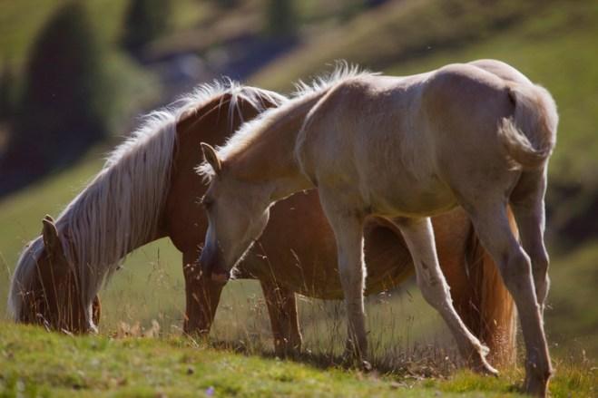 Cavalli in Alto Adige