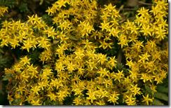 yellowflowersdesktopbackground